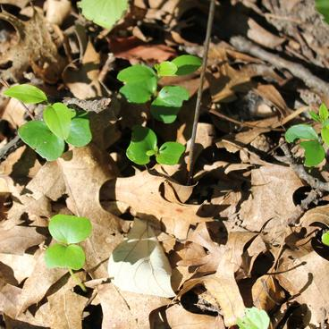Buckthorn seedlings planted in a circle around a flag