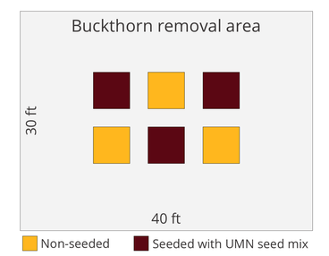 Experiment design graphic showing 30 by 40 foot buckthorn removal area and small plots where 3 will be seeded and 3 will be non-seeded
